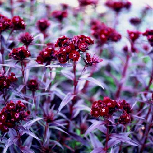 Dianthus Sooty