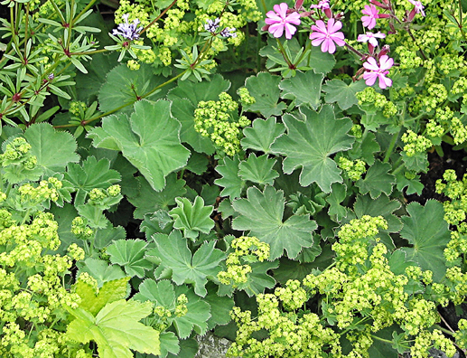alchemilla mollis 39 robusta 39 buy online at annie 39 s annuals. Black Bedroom Furniture Sets. Home Design Ideas