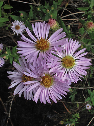 Aster Carolinianus Quot Climbing Aster Quot Buy Online At Annie