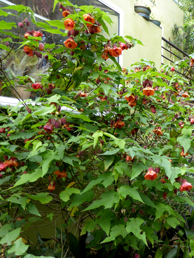 Abutilon Apricot Flowering Maple Buy Online At Annies Annuals
