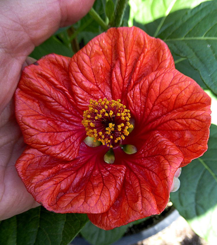 Abutilon Davids Red Flowering Maple Buy Online At Annies Annuals