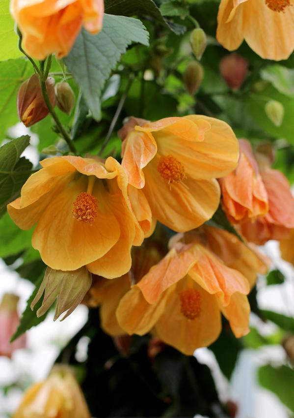 Abutilon Mango Cheesecake Flowering Maple Buy Online At