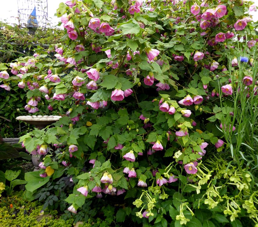 Abutilon Talinis Pink Flowering Maple Buy Online At Annies