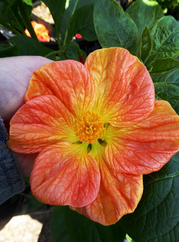 Abutilon Victor Reiter Flowering Maple Buy Online At Annies