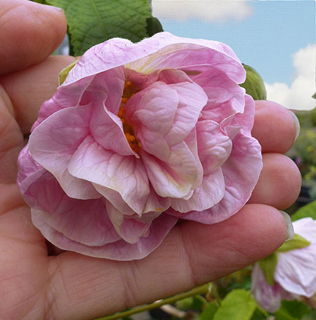 Abutilon Victorian Lady Flowering Maple Buy Online At Annies