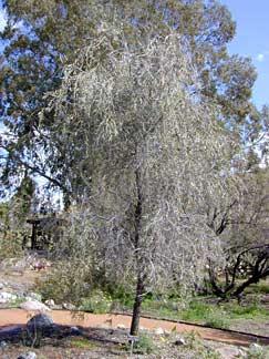 Acacia Pendula Weeping Acacia Buy Online At Annies Annuals