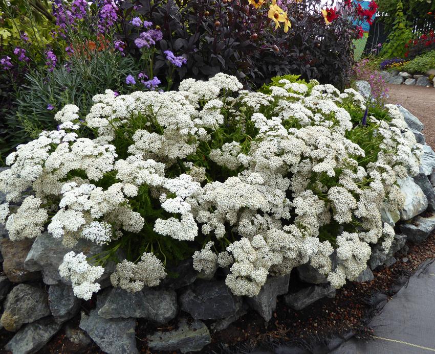 "Achillea millefolium 'Sonoma Coast' ""White Yarrow"" - Buy Online at ..."