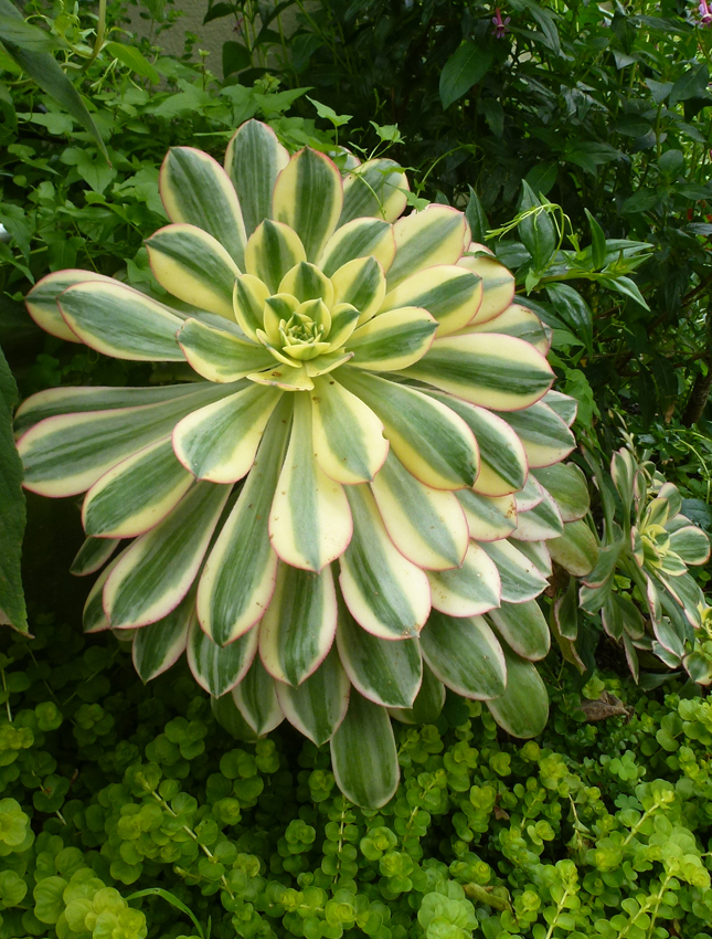 Aeonium Decorum Sunburst Buy Online At Annie S Annuals
