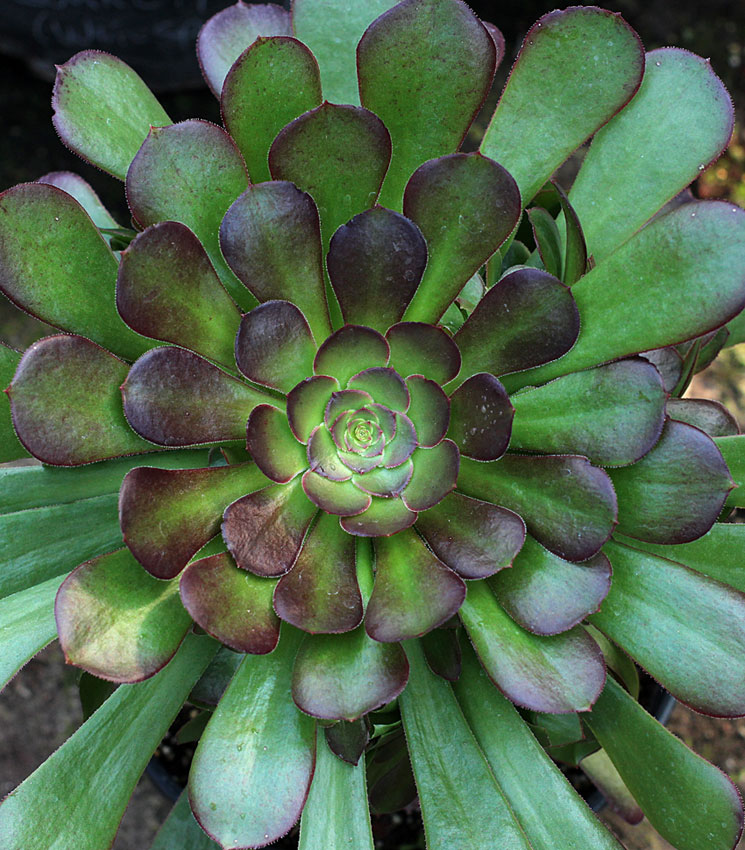Aeonium Garnet Buy Online At Annies Annuals
