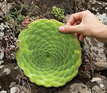 Aeonium Tabuliforme Quot Dinner Plate Aeonium Quot Buy Online At