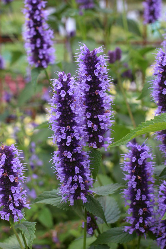 Agastache Black Adder Buy Online At Annie S Annuals