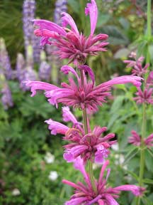 Agastache mexicana �Sangria� �Mexican Giant Hyssop�