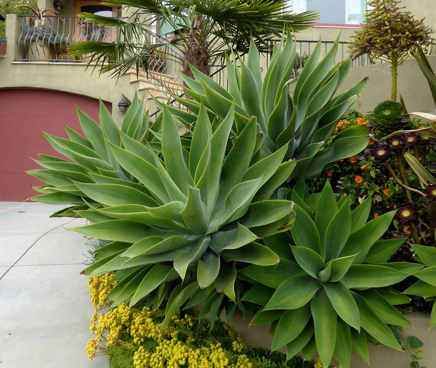 Agave Attenuata Buy Online At Annie S Annuals