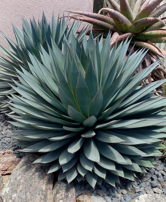 Picture of Live Blue Glow Agave aka Agave 'Blue Glow' Succulent Plant Fit 5 Gallon Pot