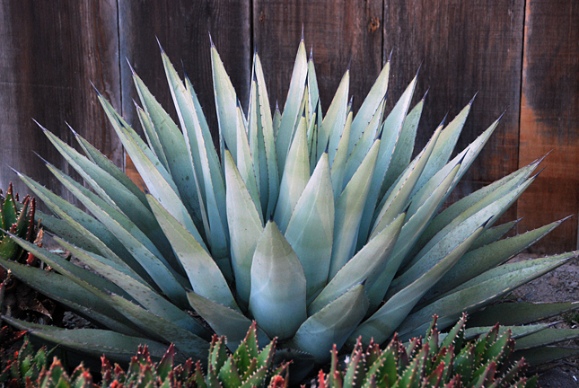 Agave Havardiana Big Bend Century Plant Buy Online At Annie S
