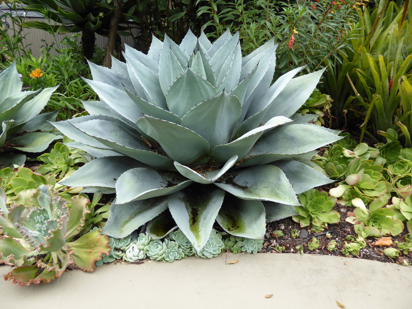 Agave Ovatifolia Frosty Blue Buy Online At Annie S Annuals