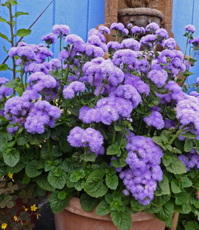 Ageratum houstanianum 'Blue Horizon'