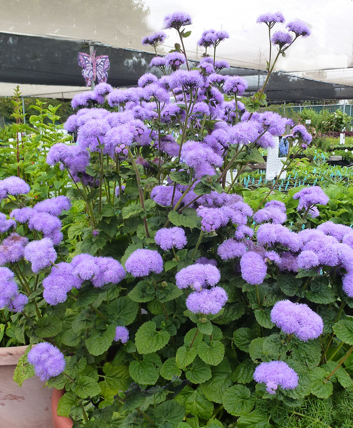 Ageratum Houstonianum Blue Horizon Buy Online At Annie S Annuals
