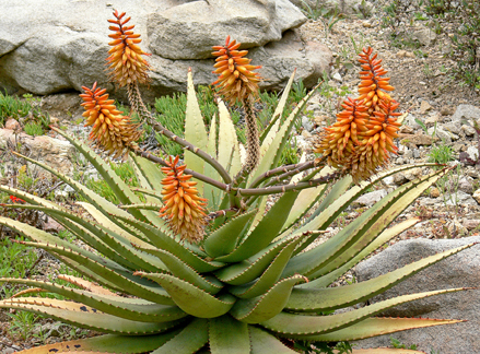 Aloe Claviflora Quot Jackal S Tail Aloe Quot Buy Online At Annie