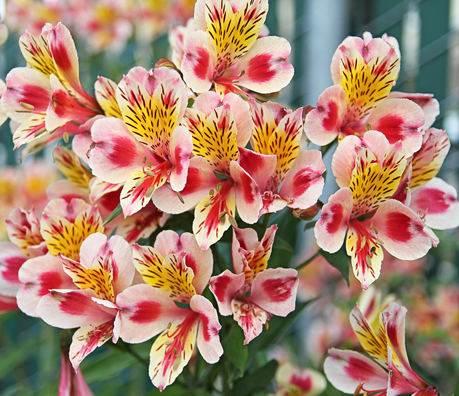 alstroemeria tricolor horiz CROP Summer Wedding Flower Options