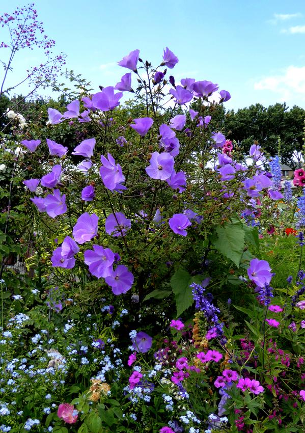 Alyogyne Huegelii Blue Hibiscus