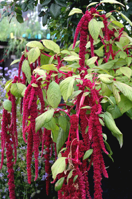 "Amaranthus caudatus ""Love-Lies-A-Bleeding"""