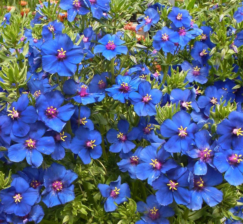 Anagallis monellii blue pimpernel buy online at annies annuals anagallis monellii blue pimpernel mightylinksfo