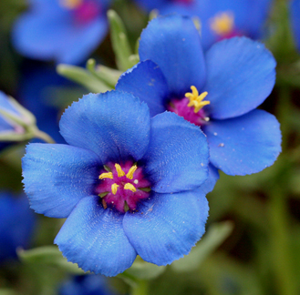 "Anagallis monellii ""Blue Pimpernel"""