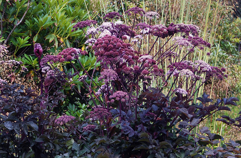 Angelica stricta 'Purpurea'