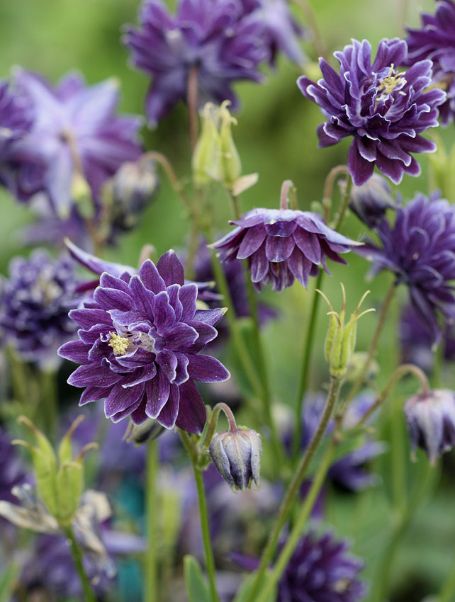 Aquilegia vulgaris 'Christa Barlow' (Akelei)