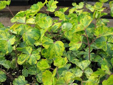 Aquilegia vulgaris 'Leprechaun Gold'