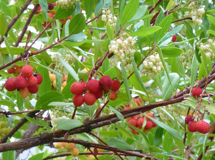 Picture of Live Strawberry Tree aka Arbutus unedo Plant Fit 5 Gallon Pot