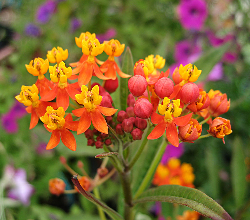 Asclepias Curassavica Quot Milkweed Quot Buy Online At Annie S Annuals