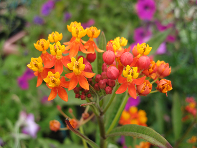 "Asclepias curassavica ""Bloodflower""/ ""Mexican Milkweed"""