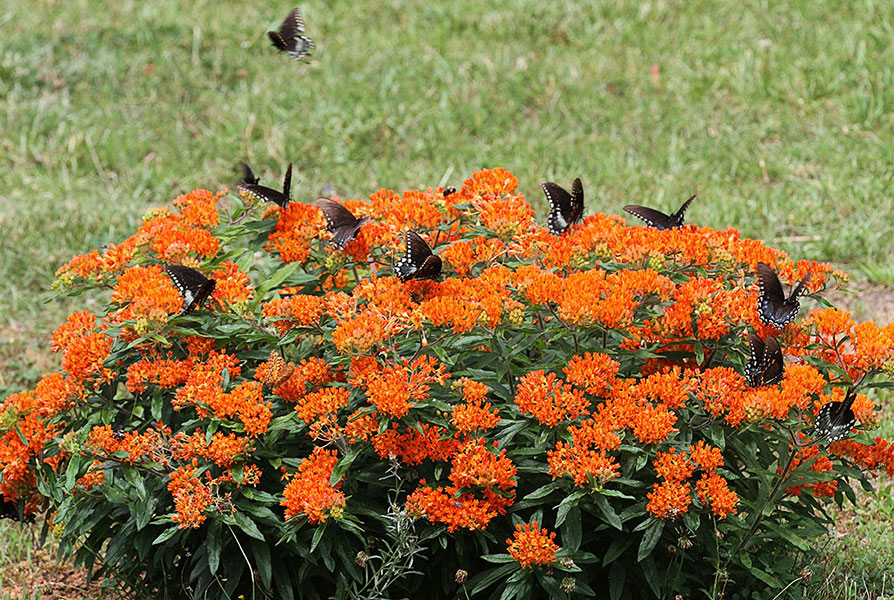 how to grow butterfly weed from cuttings