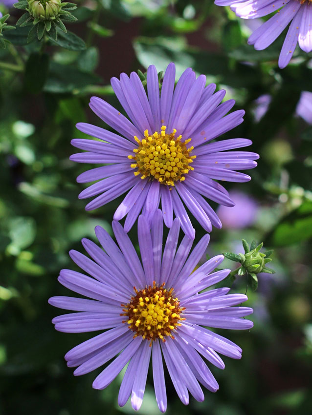 "aster carolinianus ""climbing aster""  buy online at annie's annuals, Beautiful flower"