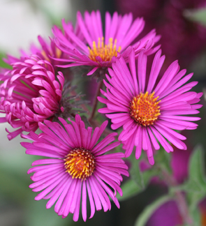 Plants aster aster novae angliae september ruby