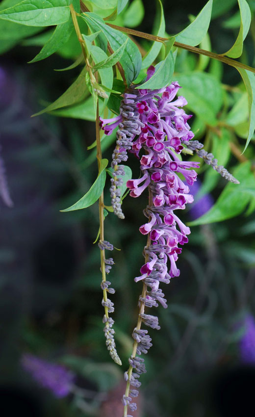 Buddleja Lindleyana Quot Butterfly Bush Quot Buy Online At Annie