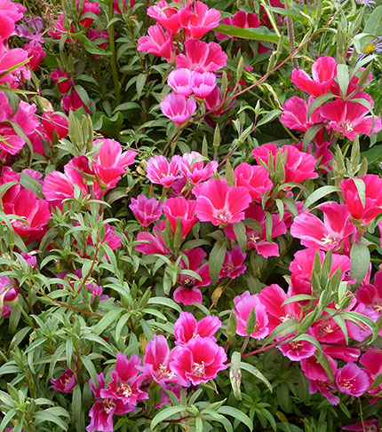 clarkia singles F1 clarkia amoena nana i bedding i potted  • incredible uniformity allows for bench run sales in all colors—including singles and doubles apricot us 200400275.