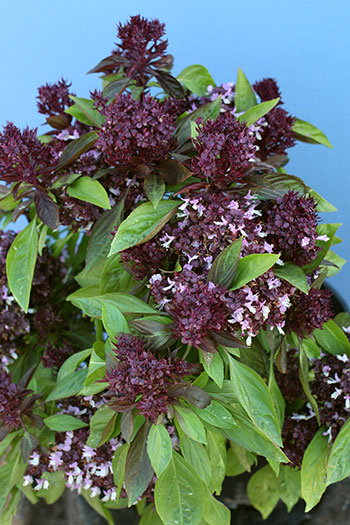 Basil 'Thai Siam Queen'
