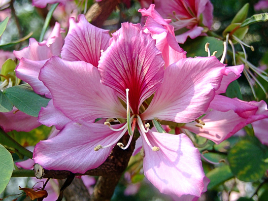 "Bauhinia variegata ""Purple Orchid Tree"""