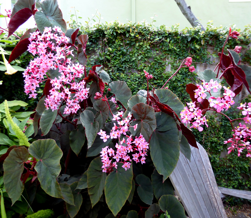 Begonia Gene Daniels Buy Online At Annie S Annuals