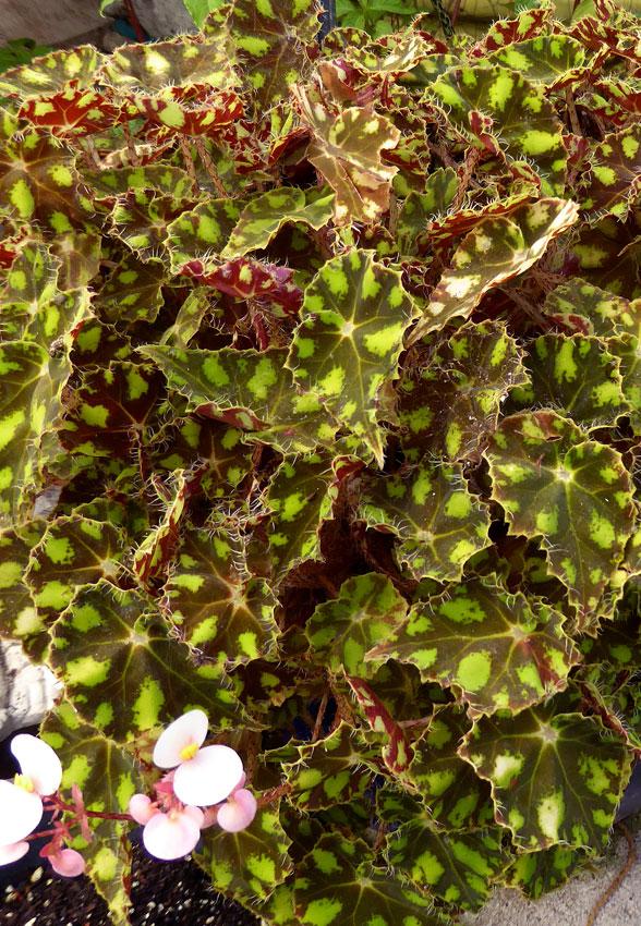 Begonia Bowerae Leprechaun Buy Online At Annie S Annuals