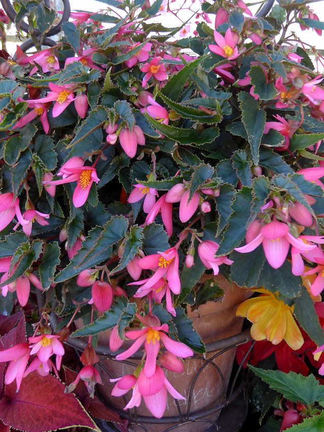 Begonia Mistral Pink Buy Online At Annie S Annuals