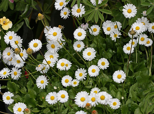 Bellis Perennis Quot English Daisy Quot Buy Online At Annie S