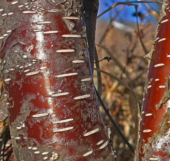 "Betula occidentalis var. fontinalis ""Western Red Birch"""