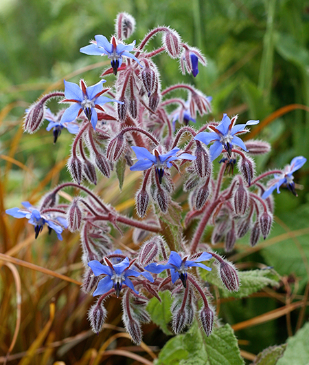 """Borage""