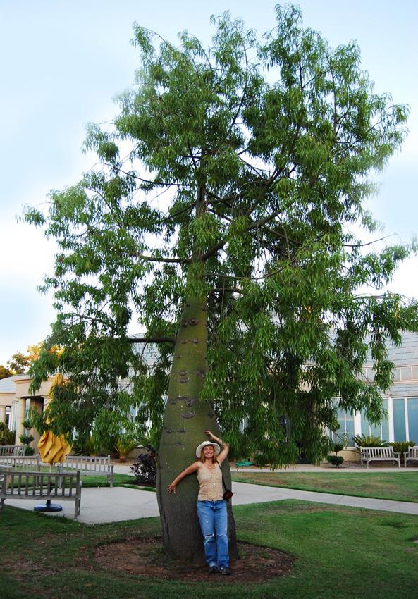 Brachychiton Rupestris Queensland Bottle Tree