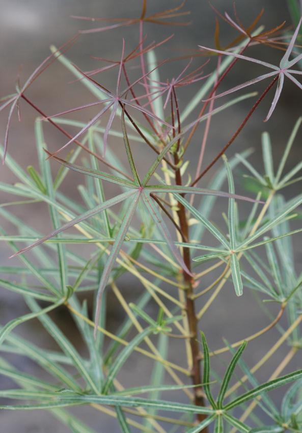 Brachychiton Rupestris Quot Queensland Bottle Tree Quot Buy