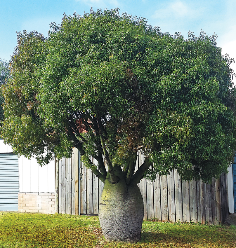 Brachychiton Rupestris Quot Queensland Bottle Tree Quot Buy